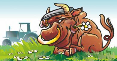 Постарів бик в стаді. Ґазда, добра душа, вирішив не пускати на бійню свого улюбленця, але для справи…